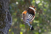 Hoopoe (Upupa epops) in flight near its lodge with a spider in its beak to feed its nest in spring Country garden around Toul, Meurthe-et-Moselle, France