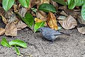 Black Redstart (Phoenicurus ochruros) female on the ground looking for food in summer, Country garden, Lorraine, France