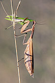Female praying mantis (Mantis religiosa) on a stem devouring a male after mating in late summer, Jaillon limestone lawn, Lorraine, France