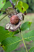 Noix fruit du Noyer commun (Juglans regia) éclosion en automne après éclatement de sa coque, Jardin de campagne, Lorraine, France