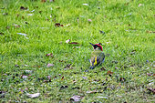 Green woodpecker (Picus viridis) male on the ground looking for earthworms in a wet lawn in winter, Country garden, Lorraine, France