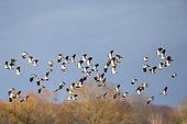 Vanneau huppé (Vanellus vanellus) vol d'un groupe aux abords d'un étang forestier en hiver, Etang de La Chaussée, Meuse, Lorraine, France
