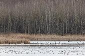 Paysage du lac de Madine avec oiseaux hivernants: Cormorans, Cygnes tuberculés, Foulques, Canards divers..... en hiver, environs de Mont Sec, Meuse, Lorraine, France