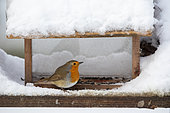European robin (Erithacus rubecula) in feeding dish in winter, Country garden, Lorraine, France