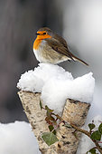 European robin (Erithacus rubecula) on snowy birch trunk in winter, Country garden, Lorraine, France