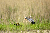 Marsh Harrier (Circus aeruginosus) couple on parade in a meadow in spring, Danube Delta, Romania