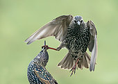 Starling (Sturnus vulagaris) fighting, England
