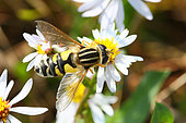 Tiger Hover-fly (Helophilus pendulus) adult on a maritime aster, autumn, Finistère, France