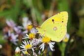 Clouded Yellow (Colias crocea) adult foraging for maritime asters in autumn, Finistère, France