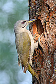 Grey-headed woodpecker (Picus canus) female at the entrance of her lodge, June, Romania