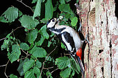 Great Spotted Woodpecker (Dendrocopos major) adult female beak filled with caterpillars for her young, June, France
