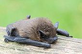 Common pipistrelle (Pipistrellus pipistrellus) adult resting on a branch, summer, Finistère, France