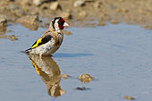 Goldfinch (Carduelis carduelis) adult bathing at the pond, June, Finistère, France