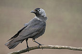 Eurasian Jackdaw (Coloeus monedula) adulte on a branch, July, Finistère, France