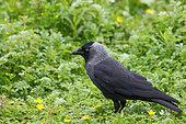 Eurasian Jackdaw (Coloeus monedula) adulte ashore looking for food, July, Finistère, France