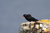 Red-billed Chough (Pyrrhocorax pyrrhocorax) adult at the top of a Bryttany cliff observing, July, Finistère, France