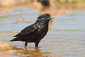 Spotless starling (Sturnus unicolor) adult male bathing in spring, June, Spain