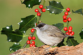 Black-capped Warbler (Sylvia atricapilla) adult male in front of a fruit holly, December, France