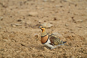 Pin-tailed Sandgrouse (Pterocles alchata) adult male near a pond on alert in the evening, June, Spain