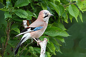 Eurasian Jay (Garrulus glandarius) adult perched supervising his territory, June, Finistère, France