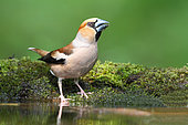 Hawfinch (Coccothraustes coccothraustes) adult male coming to drink at the pond, June, France