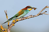 European Bee-eater (Merops apiaster) adult perched with a bumblebee in its beak, June, , South France