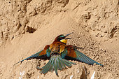 European Bee-eater (Merops apiaster) adult sun bathing, May, South France