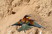 Guêpier d'Europe (Merops apiaster) adulte prenant un bain de soleil au pied d'un talus d'argile, Mai, Sud France