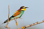 European Bee-eater (Merops apiaster) adult guarding its territory on a branch, May, South France