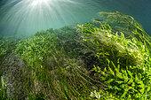 Aquatic vegetation at the exsurgence of Font Estramar, Pyrénées-Orientales, Occitania, France