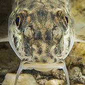Portrait of Gudgeon (Gobio gobio), species bio-indicative of the good quality of watercourses. Individual photographed in the Dourbie, downstream of the commune of Nant, Aveyron, Occitania, France