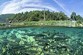 Saumons de fontaine (Salvelinus fontinalis), dans un bassin de la pisciculture bio du Mas de Pommiers, sur la commune de Nant, Aveyron, Occitanie, France