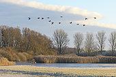 Flock of Greylag Geese, Anser anser, Germany, Europe