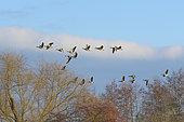 Flock of Greylag Geese (Anser anser), Germany, Europe