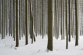 Spruce forest in winter, Odenwald, Hesse, Germany, Europe