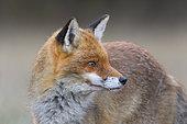 Red Fox (Vulpes vulpes), Winter, Germany, Europe