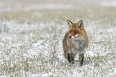 Red fox (Vulpes vulpes) in wintertime, Hesse, Germany, Europe
