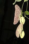 Elegant dutchman's pipe (Aristolochia elegans) on black background, New Caledonia
