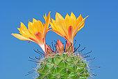 Cactus coussin (Mammillaria sp) en fleurs sur fond bleu