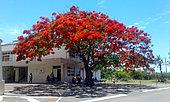 Royal poinciana (Delonix regia) in bloom, Noumea, New Caledonia