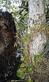 Bulbophyllum (Bulbophyllum lophoglottis), New Caledonia