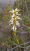 Megastylis Orchid (Megastylis gigas) in bloom, Demazure forest, New Caledonia