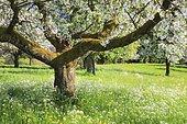 Flowering fruit trees in spring, Switzerland, Europe
