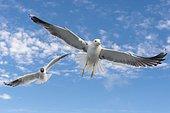 European herring gull (Larus argentatus) in flight against blue sky, sea, coast, North Sea, Netherlands