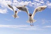 Black-headed gulls (Chroicocephalus ridibundus) (Syn.: Larus ridibundus) in flight in front of blue sky, sea, coast, North Sea, Netherlands
