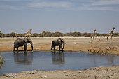 African Elephants (Loxodonta africana) at the water hole, Etosha, Namibia