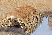 Black-faced impala (Aepyceros melampus petersi) drinking at the water hole, Etosha, Namibia