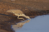 Kori bustard (Ardeotis kori) drinking at the water hole, Etosha, Namibia