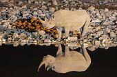 Rhinocéros noir (Diceros bicornis) et son reflet, Etosha, Namibie