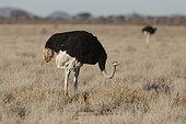 Common Ostrich (Struthio camelus), Etosha, Namibia